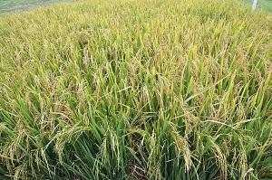 rice-field-640